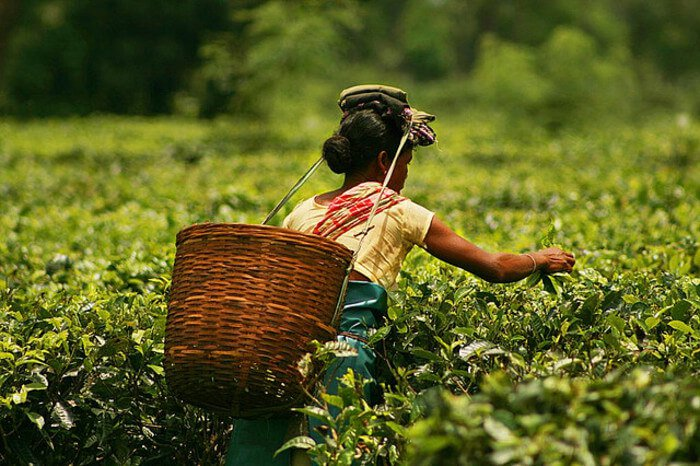 , India's tea gardens beckon tourists, World News | forimmediaterelease.net