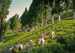 , India's tea gardens beckon tourists, World News | forimmediaterelease.net